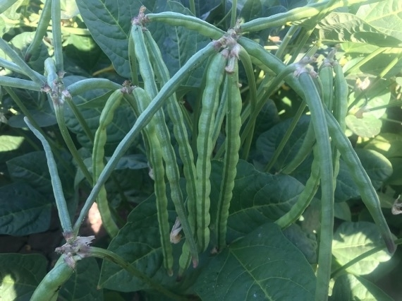 Photo 3. Adjacent CB77 blackeye plants show high levels of resistance to cowpea aphid infestations.