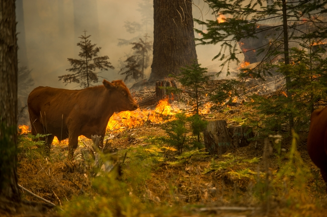 The Rim Fire, which burned in 2013-2014 in Tuolumne and Mariposa counties, burns around a cow. Health effects of wildfire on cows may persist for weeks or even years. Photo by Noah Berger