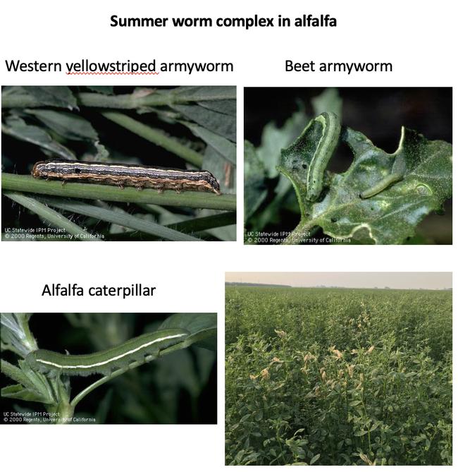 Photo 2. Summer worm complex in alfalfa and feeding damage to alfalfa hay.