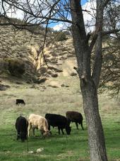 Cattle2 G.Ivens