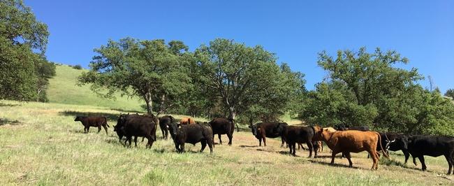 Figure 2. WCLC's cattle.