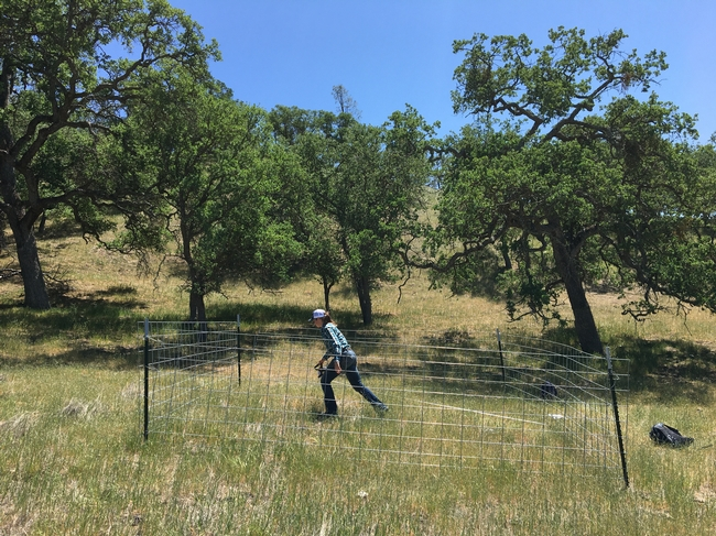 Figure 3. Setting up line-point intercept transect in grazing exclosure.