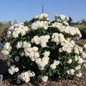 'Icecap' rose from the Meilland breeding program