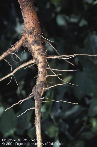ladder root system