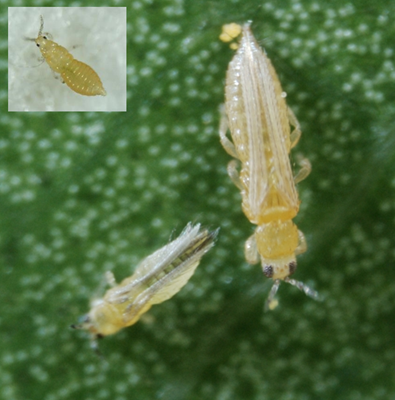 flower thrips and chilli thrips