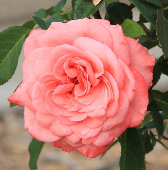 Rosa 'Elaine Paige'