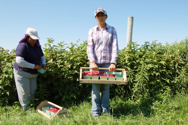 Two female farmworkers are harvesting raspberries on an upstate New York farm. (Photo by Joseph Sorrentino / iStock)