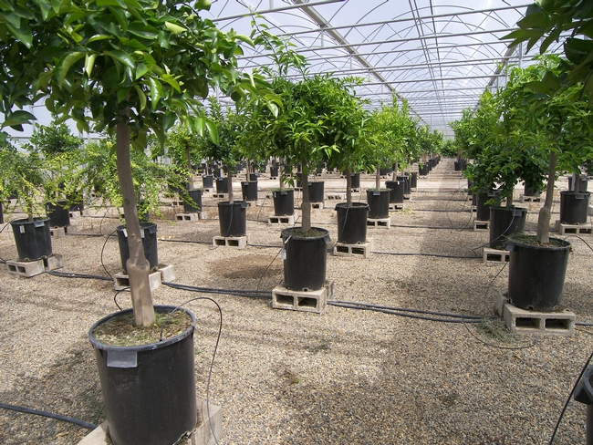 Screenhouse trees in pots