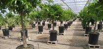 Screenhouse trees in pots for Lindcove Research and Extension Center News Blog