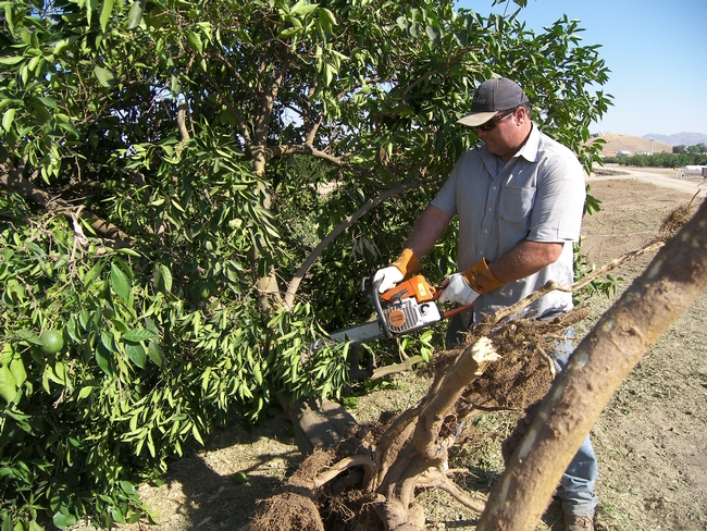 Don Cleek with chainsaw removing a CTV-infected tree