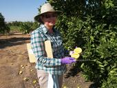 Claire Federici looking for seedless Valencias