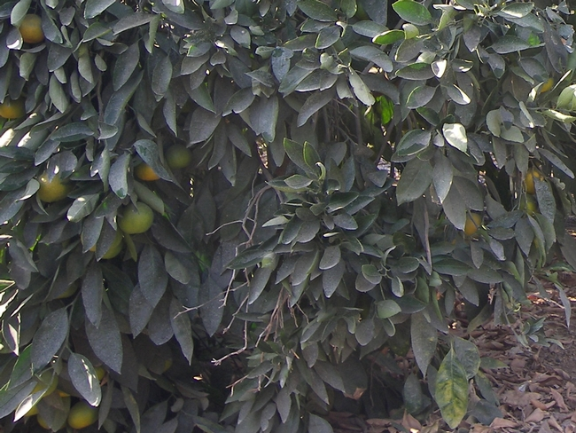 'Frost Owari' satsuma - the rest of the tree