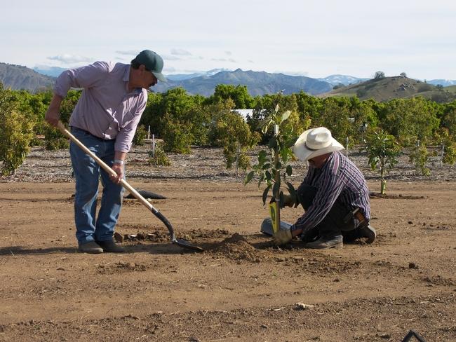 Senior agricultural technicians Gerry Perez and Jose Hernandez planting avocado trees
