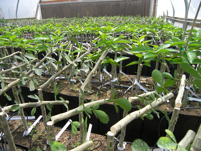 Newly budded citrus trees in a greenhouse
