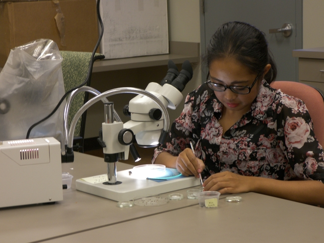 Yelena Martinez sorts insects under a microscope.