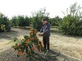 Adrian Buckley examines the Bouquet de Fleurs sour orange.  Photo by Dan Willey.