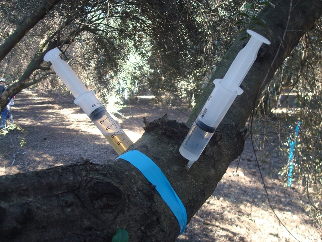 Plant growth regulators were injected into the trees during the initial proof-of-concept phase of the research program.