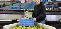 Glenn Wright examines lemons for Lindcove Research and Extension Center News Blog