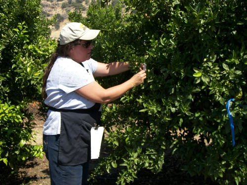 Staff Research Associate Therese Kapaun collects leaves at LREC for tristeza virus testing