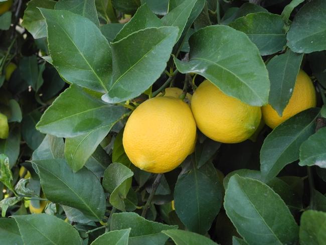 DSCN1441 Allen Eureka lemon