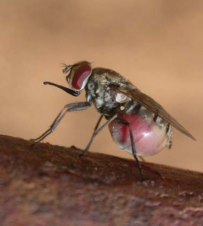 stable fly image