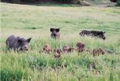 Wild pigs at HREC