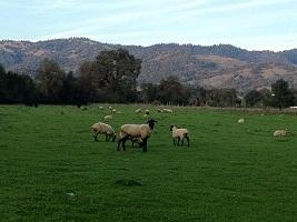 1Magruder lambs