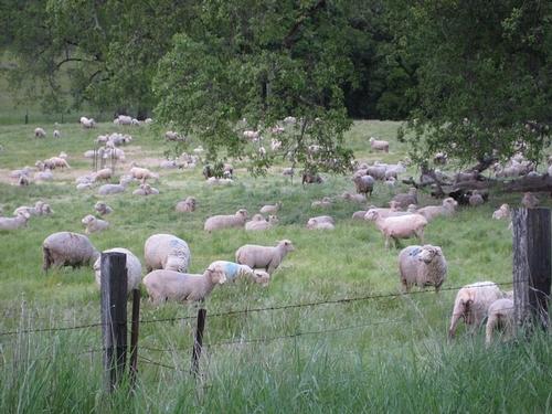 closeup of sheep grazing at HREC