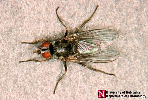 hornfly1