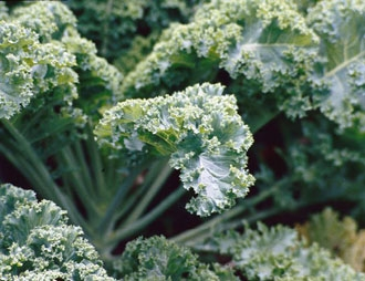 Dwarf-German-Kale jpg