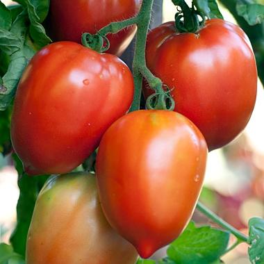 Tomatoe Seed