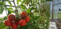 Trellising for Monterey Bay Master Gardener Blog Blog