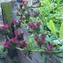 Hummingbird sage in the author's garden.
