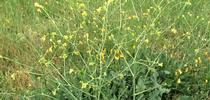 mustard for UC Master Gardeners of Monterey Bay Blog