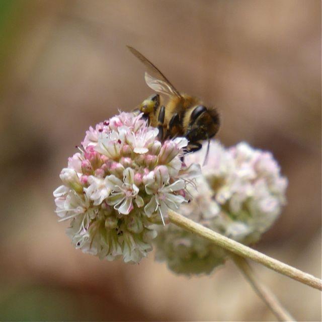 A honeybee feeding on sea cliff buckwheat. Photo: © Carol Nickbarg.
