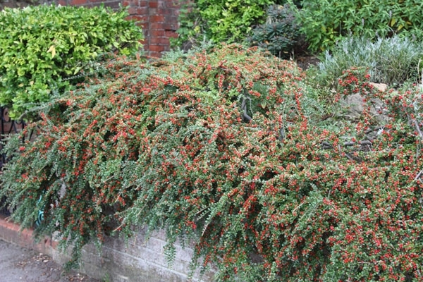 Self-seeding, undesirable cotoneaster.