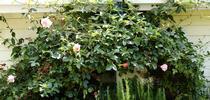 climbing rose for UC Master Gardeners of Monterey Bay Blog