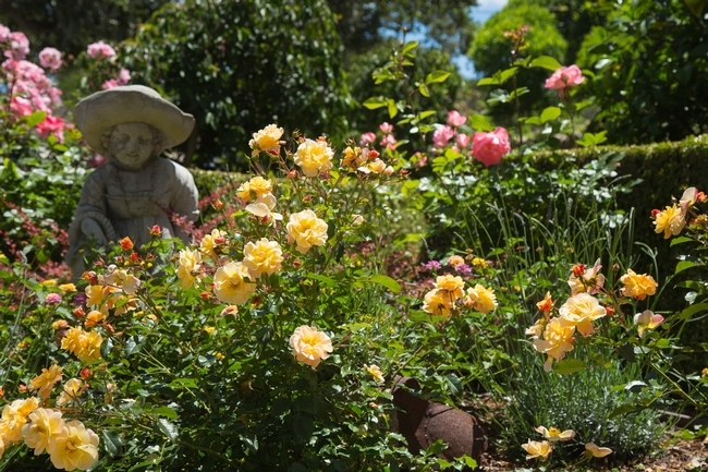 garden of roses