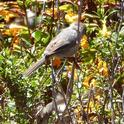 Bushtits seeking insect food in thicket of Coyote brush and Sticky monkeyflower. Photo: © Carol Nickbarg.