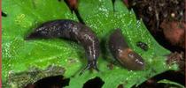 Slugs. for UC Master Gardeners of Monterey Bay Blog
