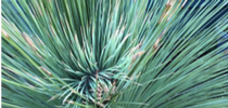 Mexican Grass Tree leaves. for UC Master Gardeners of Monterey Bay Blog