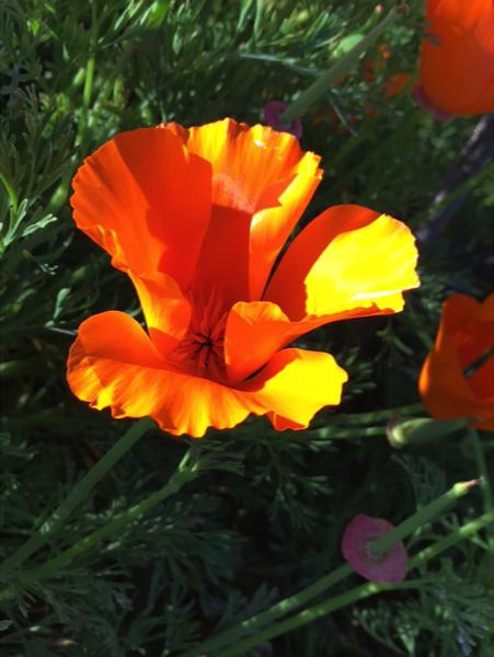 Close up of a California poppy. Photo © Mandy Salm.