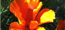Close up of a California poppy. Photo © Mandy Salm. for UC Master Gardeners of Monterey Bay Blog