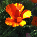 Close up of a California poppy. Photo © Mandy Salm.