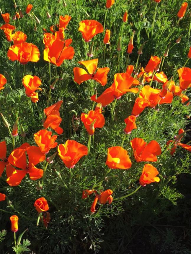 California poppy meadow. Photo © Mandy Salm.