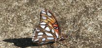 Gulf Frittilary. Photo © Leora Worthington. for UC Master Gardeners of Monterey Bay Blog