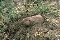 Adult pocket gopher.