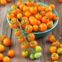 Sungold tomatoes. Image from BonniePlants.com.