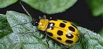 Western spotted cucumber beetle. Photo by Jack Kelly Clark. for UC Master Gardeners of Monterey Bay Blog