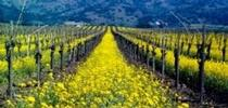 Mustard, a common cover crop. for UC Master Gardeners of Monterey Bay Blog